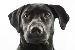 Black Lab Stock Image