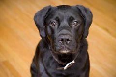 Black lab. Young black lab against hardwood floor Stock Photos