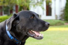 Black Lab Royalty Free Stock Images