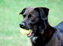 Black Lab. Standing with Ball Stock Photos