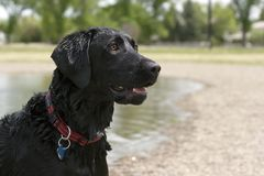 Black Lab Stock Photography