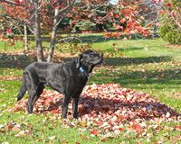 Black Lab in Autumn. Black Labrador Retriever standing next to a pile of leaves in autumn Royalty Free Stock Photography