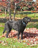 Black Lab in Autumn. Black Labrador Retriever standing next to a pile of leaves in autumn Stock Photography