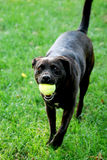 Black Lab with Ball Royalty Free Stock Photo