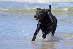 Black Lab at the Beach. A black lab playing in the waves at the ocean Stock Photos
