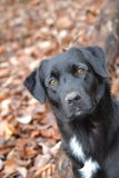 Black Lab. This is a Black Lab. This beautiful dog is surrounded by fall foliage Stock Photography