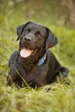 Black Lab Royalty Free Stock Photos