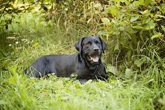 Black Lab Stock Photo