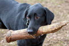 Black Lab and a Really Big Stick. Close-up of a black labrador retriever playing fetch with an oversized stick stock image