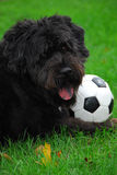 Black Lab/Bouvier 2. Black Lab/Bouvier des Flandres dog with soccer ball lying in the grass stock photography