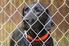 Black lab caged up in kennel Stock Photography