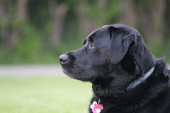 Black lab. A close up of a black lab Stock Images