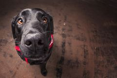 Black lab close-up royalty free stock photo