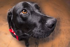 Black lab close-up stock images