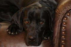 Black Lab on Couch resting Stock Photos