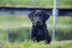 Black Lab. This black lab crouches in the grass and watches intently Royalty Free Stock Photo