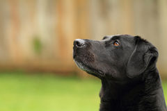 Black Lab Dog. A black lab dog sits obediently Royalty Free Stock Images