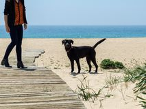 Black lab dog on the beach looking at the camera Royalty Free Stock Images