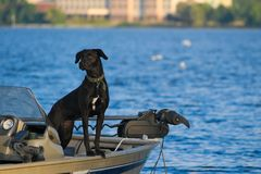 Black lab dog checking out the lake view from fishing boat stock image