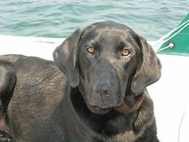 Black Lab dog. Laying down on boat Stock Images