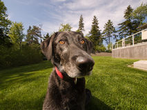 Black Lab dog wide angle. Black lab sitting in a large yard with big nose in camera Stock Photo