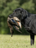 A Black Lab with a Duck Royalty Free Stock Image