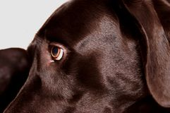 Black Lab Eye. Close up of black labrador retriever eye and partial face Royalty Free Stock Photo