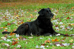 Black Lab-Full View Stock Photos
