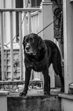 Black Lab. A black lab going out for a walk Royalty Free Stock Images