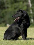 A Black Lab Hunting Dog Royalty Free Stock Images