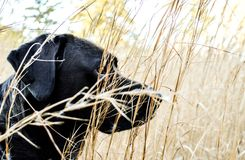Black lab hurting through the fall grasses. Watching for something ahead of us. She waits for my signal Stock Photography