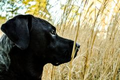Black lab hurting, waiting through the tall grasses. Black lab hurting through the fall grasses. Watching for something ahead of us. She waits for my signal Royalty Free Stock Images