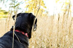 Black lab playing through the tall grasses. Black lab hurting through the fall grasses. Watching for something ahead of us. She waits for my signal. Have room on Royalty Free Stock Image