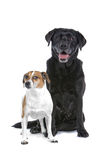 Black Lab and Jack Russell stock photo