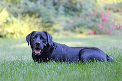 Black Lab Lying Down. Stock Photos