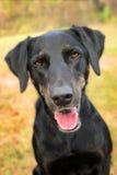 Black lab mix dog Royalty Free Stock Photography
