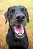 Black lab mix dog panting Royalty Free Stock Images