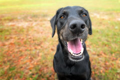 Black lab mix dog panting. Black labrador retreiver greyhound mix dog sitting outside watching waiting alert looking happy excited while panting smiling and royalty free stock image