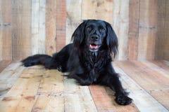 Black lab mix on wood background royalty free stock photos