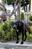 Black Lab. Peering through a wrought iron fence Stock Images