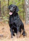 Black Lab, pet adoption portrait. Black Labrador Retriever outdoor adoption portrait, humane society pet photography, Walton County Animal Control, Georgia Royalty Free Stock Images