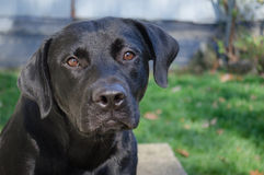 Black lab. Poses outside on an early fall day Royalty Free Stock Photo