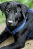 Black Lab Pup. She was found after someone dumped her off Stock Photography