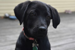 Black Lab Pup With His Head Slightly Tilted. Cute black lab pup with his head tilted slightly Stock Images