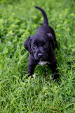 Black Lab puppies Royalty Free Stock Photos