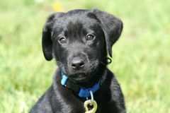 Black lab puppy Royalty Free Stock Images