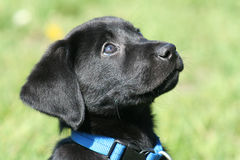 Black lab puppy. Close up with grass in the background Stock Image