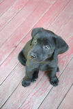 Black lab puppy. Close up with red porch in background Stock Photos
