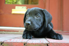 Black lab puppy. Close up with red porch and door in background Royalty Free Stock Photo