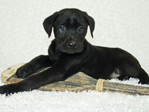Black Lab Puppy. With a canoe paddle Stock Photo